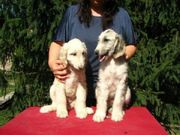 Cute UKC Afghan Hound Puppies for sale