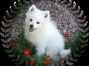 Cute UKC American Eskimo Puppies for sale