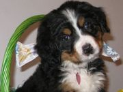 Cute UKC Bernese Mountain Dog Puppies for sale
