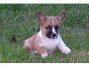 Cute UKC Cardigan Welsh Corgi Puppies for sale