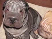 Cute UKC Chinese Shar-Pei Puppies for sale