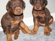 Cute Doberman Pinscher Puppies for sale