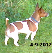 MINIATURE JACK RUSSELL FOR STUD